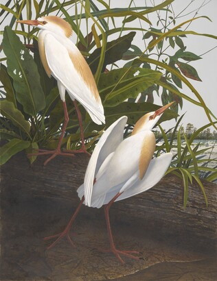 Scott Gentling (1942–2011), Stuart Gentling (1942–2006), Cattle Egret, Sep. 5, 1984
