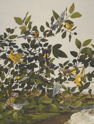 Stuart Gentling (1942–2006), Scott Gentling (1942–2011), Six Migrant Warbler Species and the Golden Chick Warbler, 1985