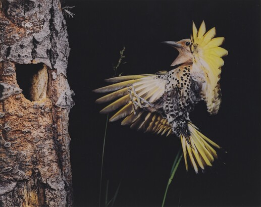 Eliot Porter (1901–1990), Eastern Flicker, Seney, Michigan, June 28, 1973