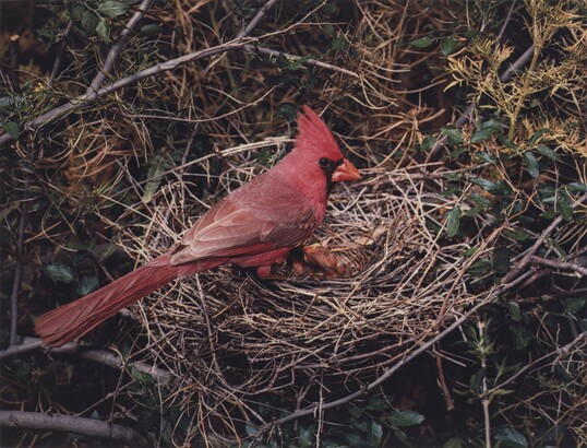 Eliot Porter (1901–1990), (Arizona) Northern Cardinal, Male, X-9 Ranch, Arizona, May 5-6, 1952