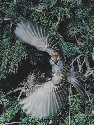 Eliot Porter (1901–1990), Chipping Sparrow, Great Spruce Head Island, Maine, June 19, 1971