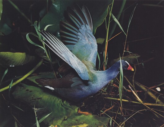 Eliot Porter (1901–1990), Purple Gallinule, Everglades National Park, Florida, March 2, 1954