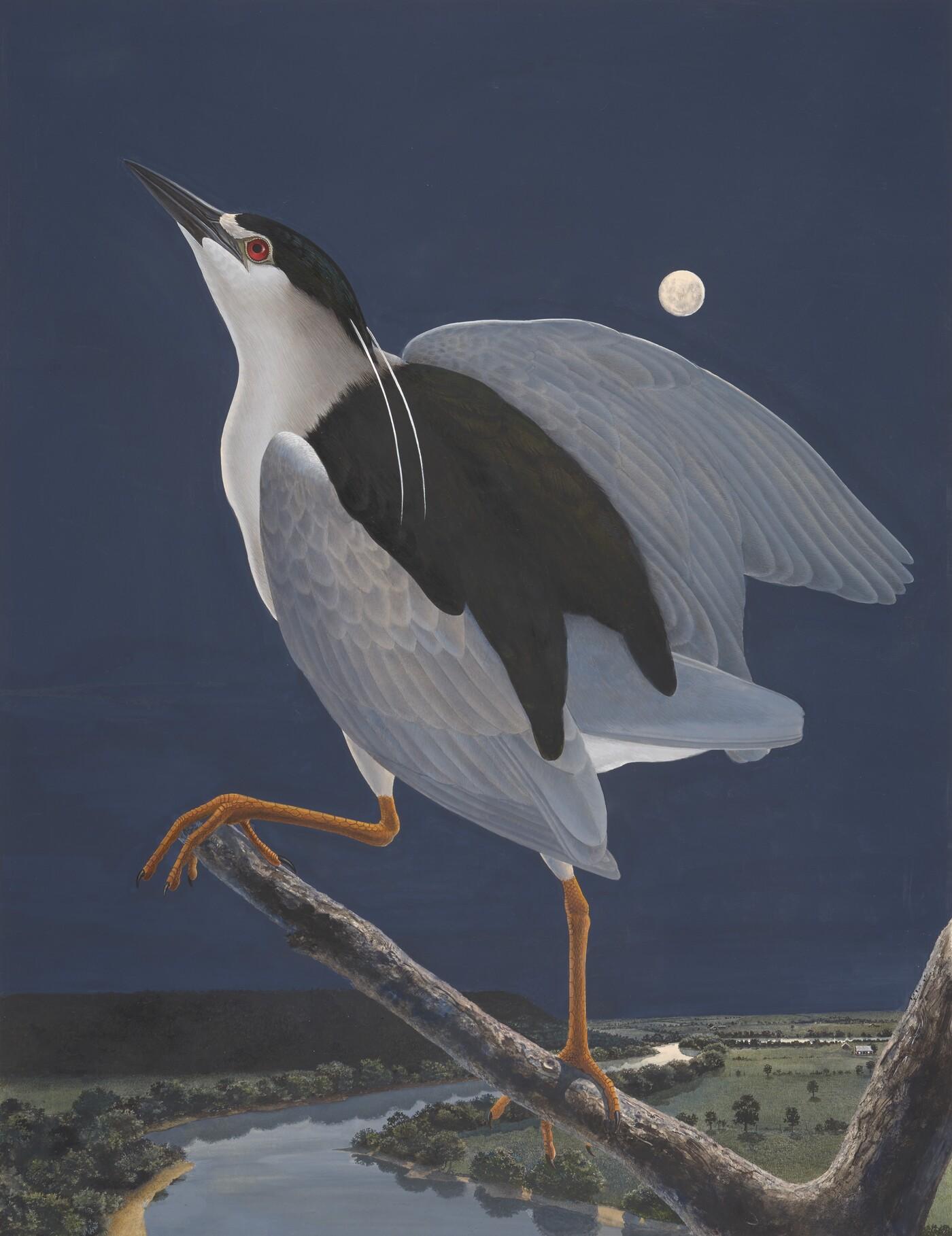 Black-crowned Night Heron, 1983