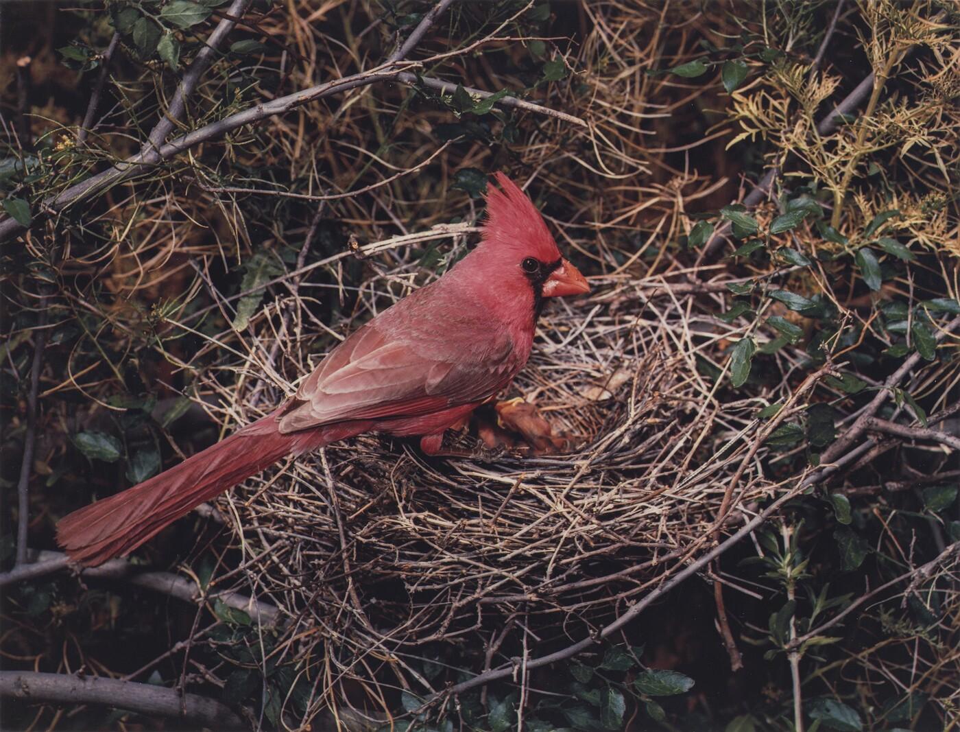 Eliot Porter (1901–1990), (Arizona) Northern Cardinal, Male, X-9 Ranch, Arizona, May 5-6, 1952