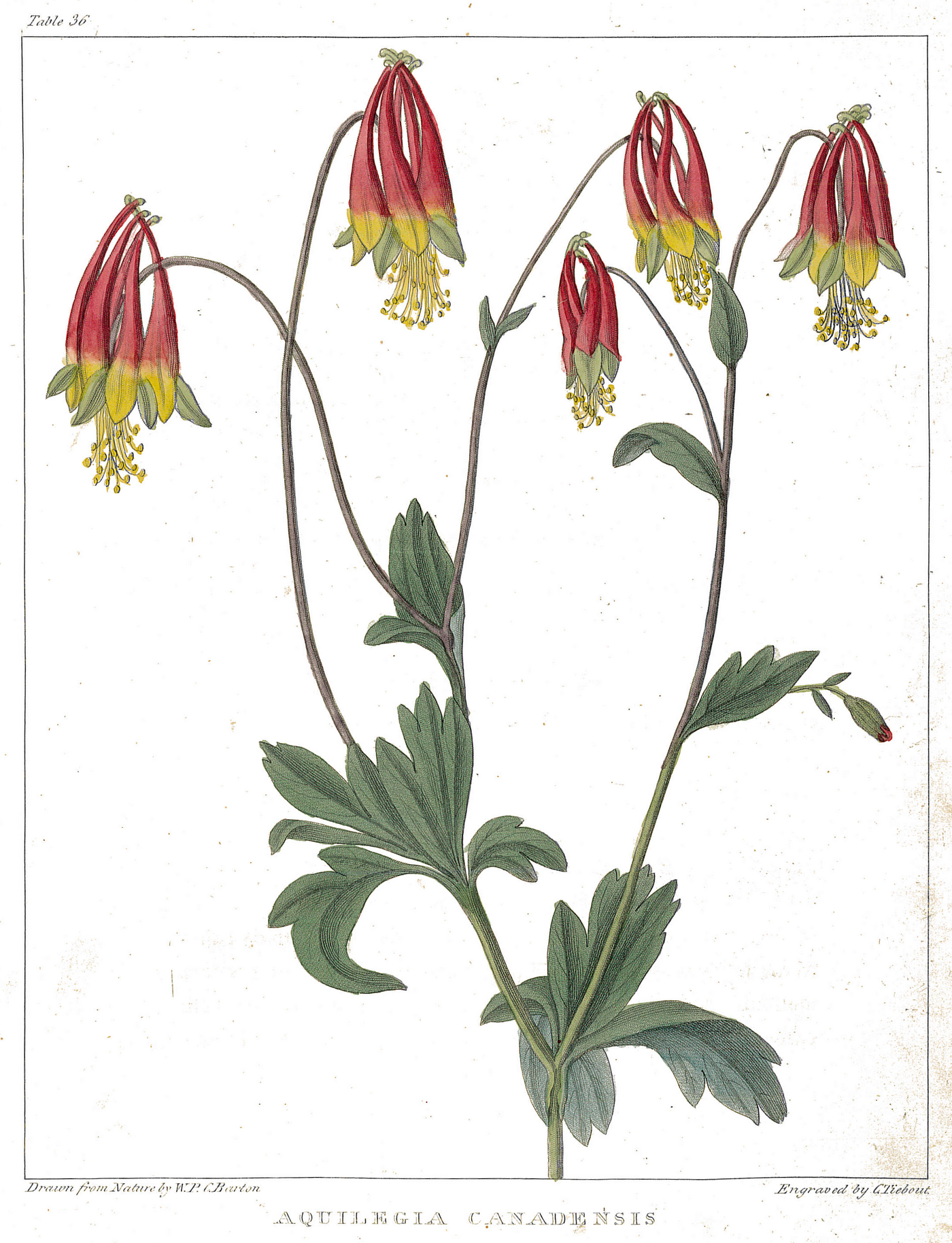 Botanical illustration of red columbine showing two stems with five blooms