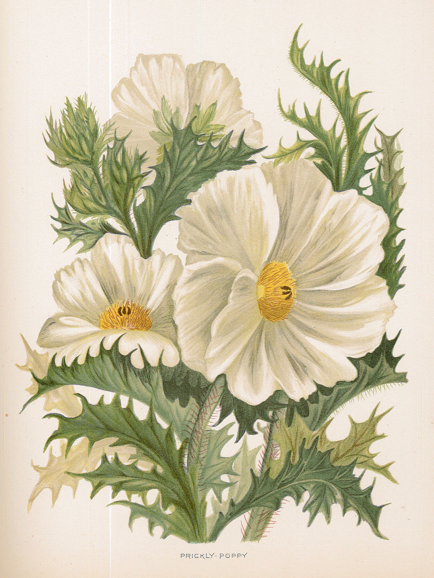 Three white flowers surrounded by prickly green leaves
