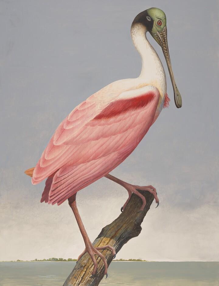 Roseate Spoonbill, ca. 1981–85
