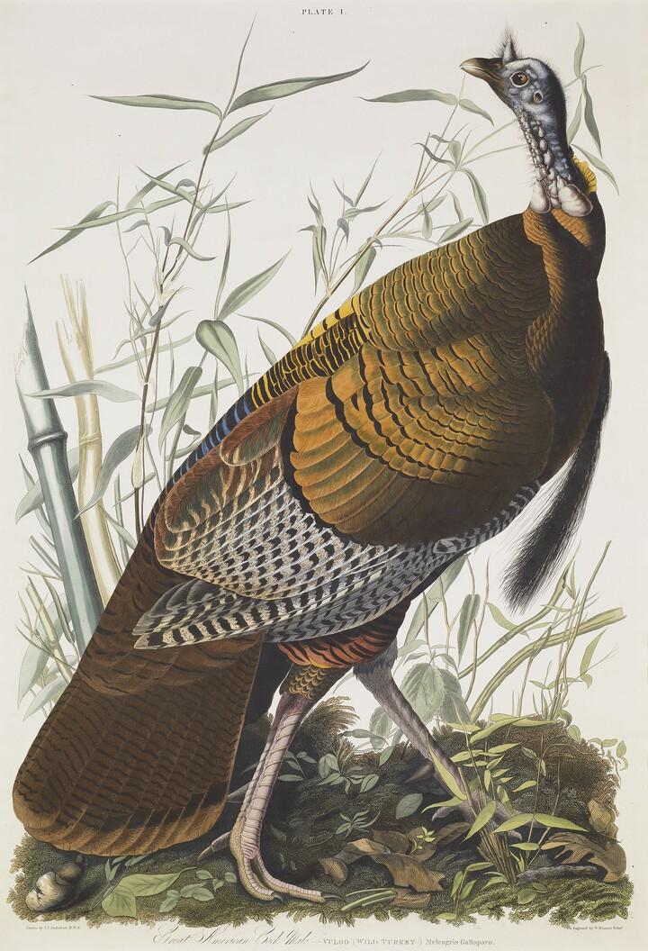 Audubon, John James Audubon, -VULGO (WILD TURKEY-) Meleagris gallapavo, 1826-1827