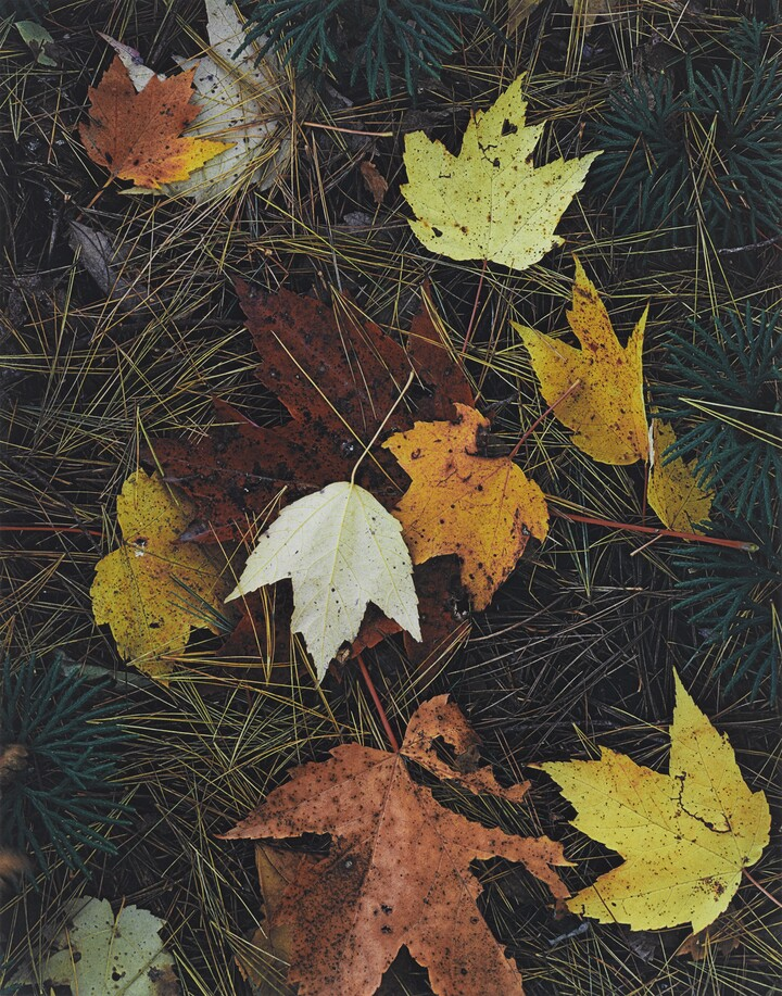 Eliot Porter (1901–1990), Maple Leaves and Pine Needles, Tamworth, New Hampshire, October 3, 1956, 1956, Dye imbibition print