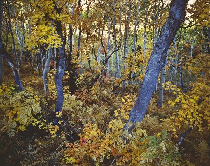Robert Glenn Ketchum (b. 1947), Cosmic Trees, 1988, Dye destruction print
