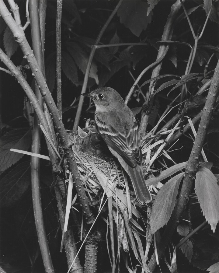 Eliot Porter (1901–1990), Alder Flycatcher, Great Spruce Head Island, Maine, July 15, 1939