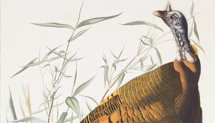 John James Audubon illustration of a wild turkey